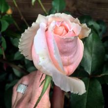 rosewater face wash• pH balanced