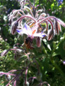 borage and the bee. this is where love begins...