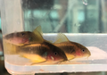 Gold Laser Cory Cat (CW010)