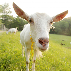 consider-the-goat-middlebury-magazine1.png