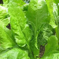 SPINACH Perpetual- 150g Bunch (Veggie Patch) *CF