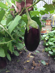 Eggplant Small- Each  (Veggie Patch) *CF