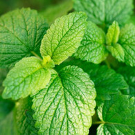 LEMON BALM (Veggie Patch) *CF *