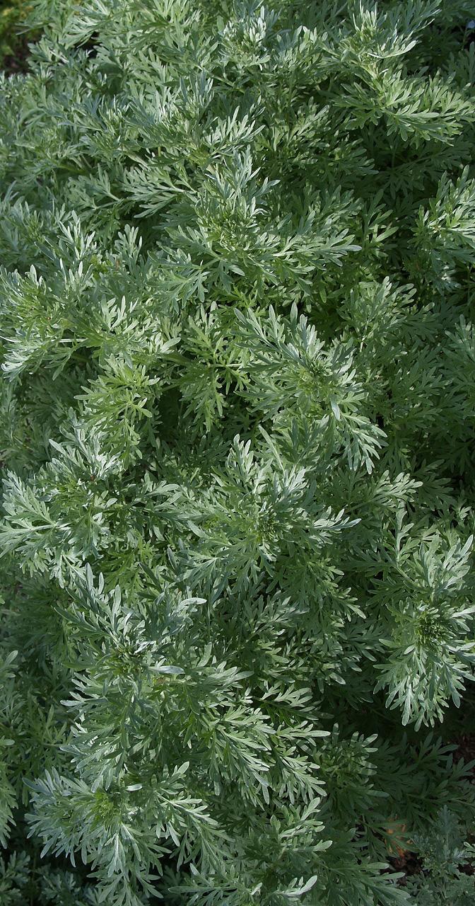 artemisia-absinthium-lambrook-silver-.jpg