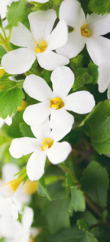 bacopa-header.jpg