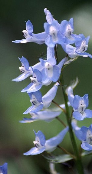 Corydalis in flower