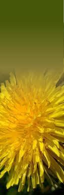 dandelion-flower.jpg