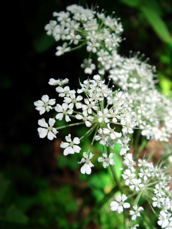 Angelica sinensis flower