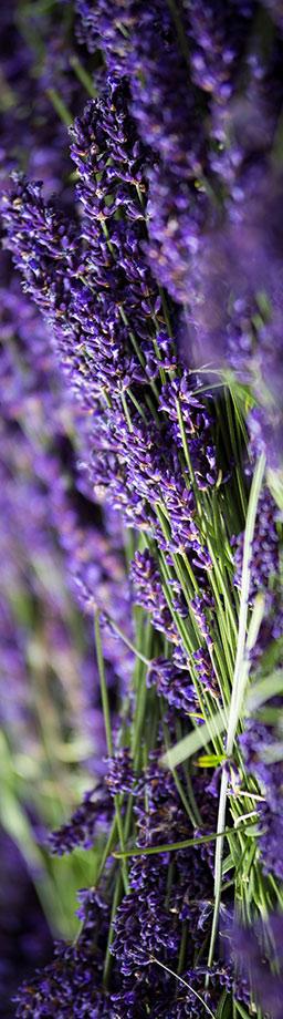 lavender-flower.jpg