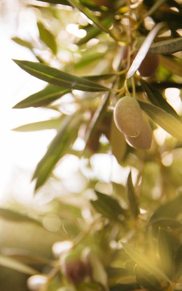 olive-leaf-branch.jpg