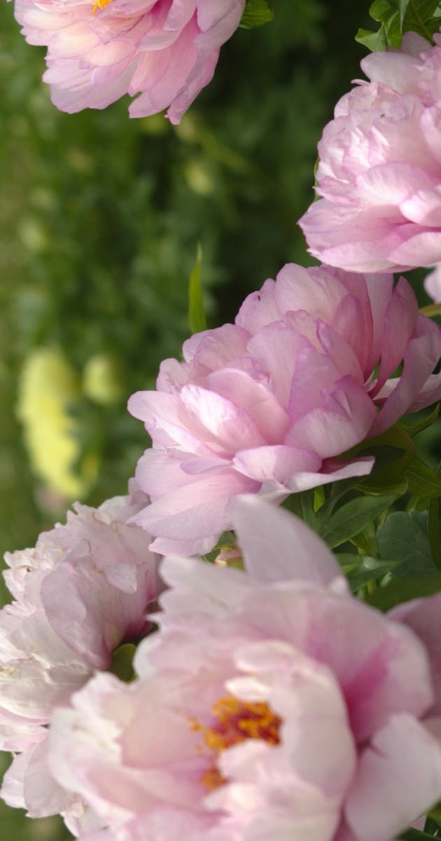 Paeonia lateriflora