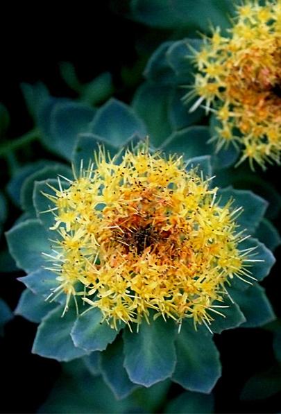 Rhodiola rosea flower