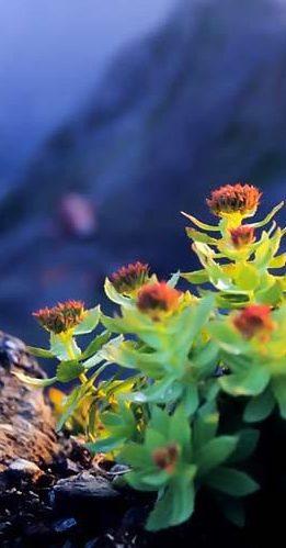 rhodiola-rosea-750x500.jpg