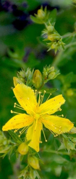 st.-johns-wort-flower-rds.jpg