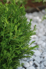 thuja-occidentalis