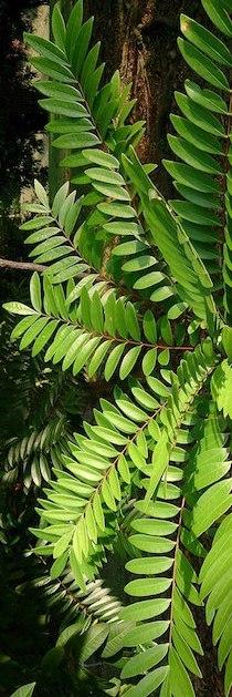 tongkat-ali-eurycoma-longifolia