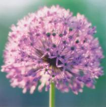 Purple Flower Greeting Card - Camden Graphics
