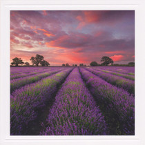 Take A View Lavender Field Sunset