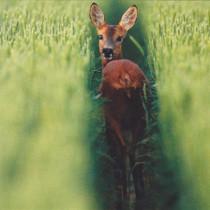 Wild Spirit female Roe Deer Card