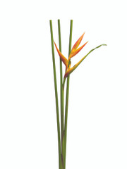 Heliconia Claw Halloween - 3 stem bunch