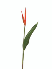 Heliconia Psittacorum Petra - 10 stem bunch