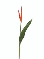 Heliconia Psittacorum Petra - 10 stem bunch