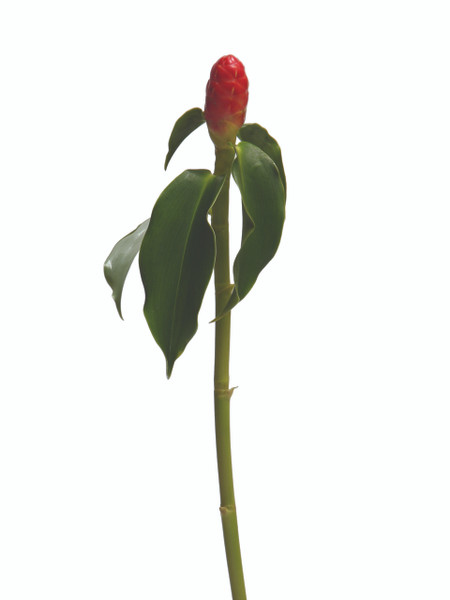 Costus Baby French Kiss