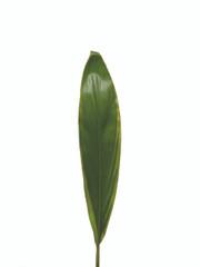 Cordyline Sherbertii  - 7 stem bunch