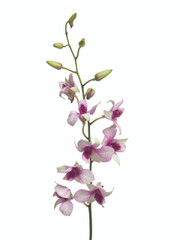 Dendrobium Hiang Beauty - 5 stem bunch