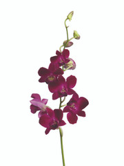 Dendrobium Red Bull - 5 stem bunch