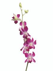 Dendrobium Galaxy - 5 stem bunch
