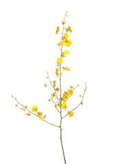 Oncidium Grower Ramsay - 10 stem bunch
