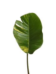 Pothos - 5 stem bunch