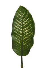 Dieffenbachia Large - 3 stem bunch