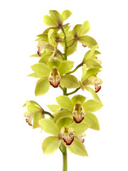 Cymbidium Orchids - 8 stem box