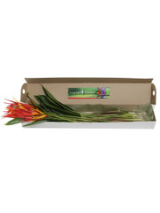 Heliconia 100 Stem Box (shipping included)