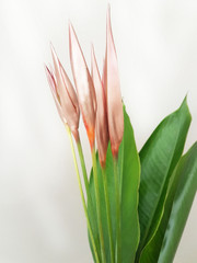 Metallic Heliconia Psittacorums - 50 stem box (shipping included)