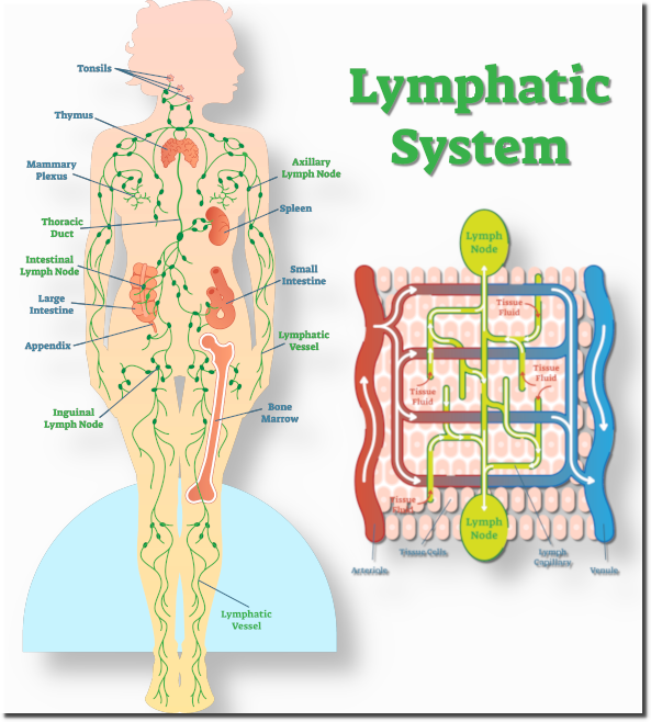 -lymphaticsystem-topbanner001.png