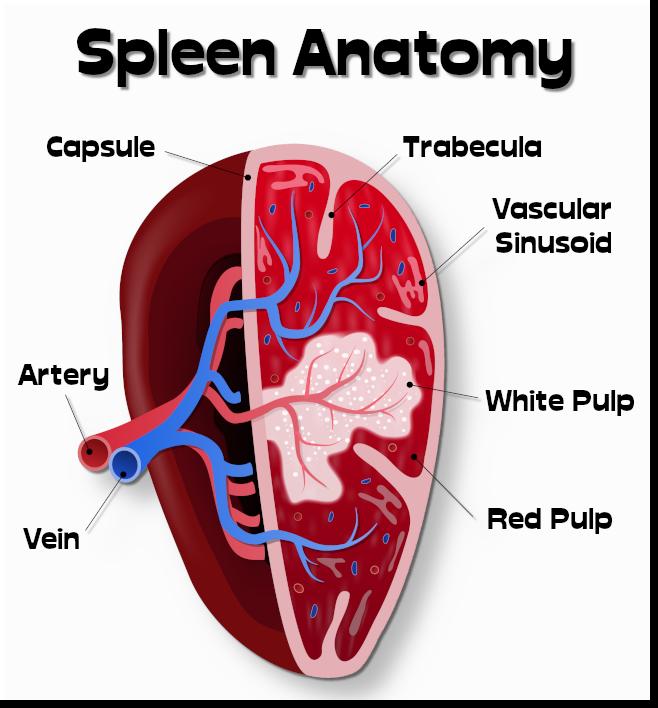-spleen001.png