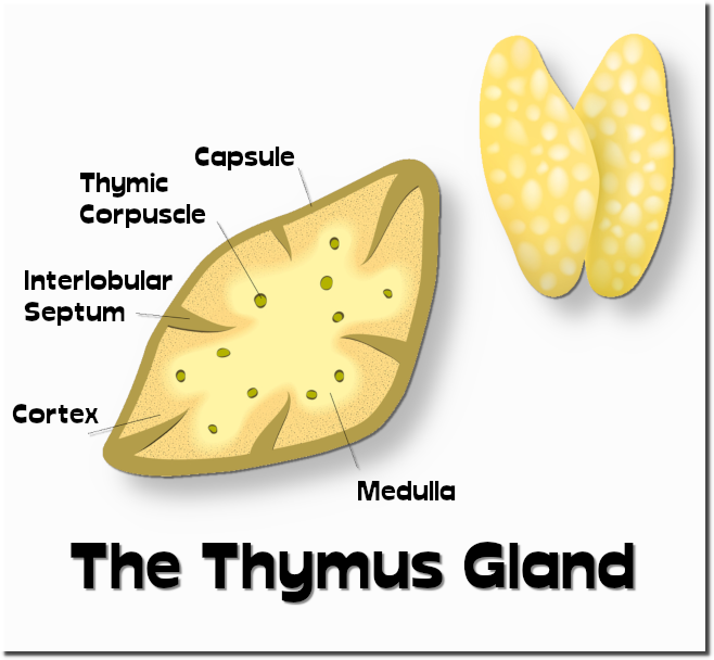 -thymus001.png