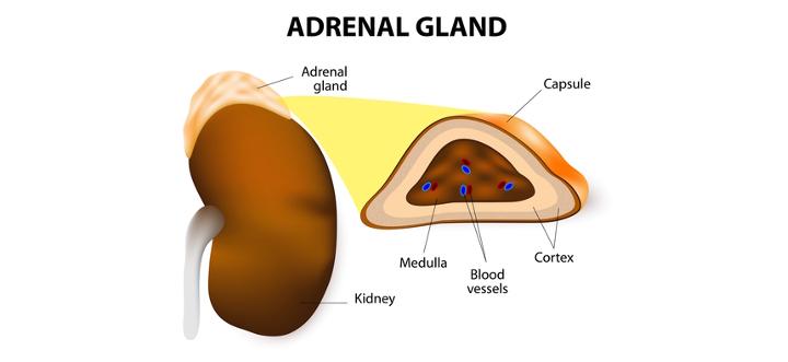 adrenalgland.jpg