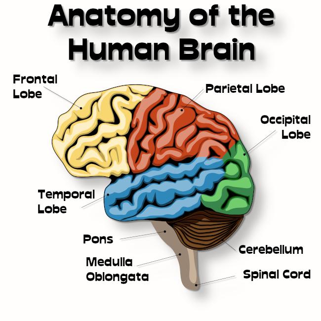 brain001.jpg