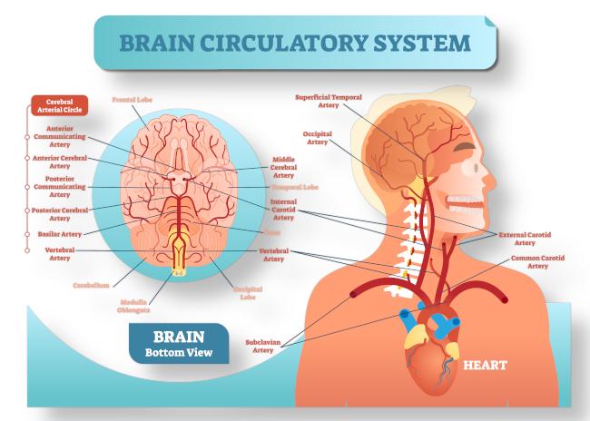 circulatorysystem-topbanner.jpg