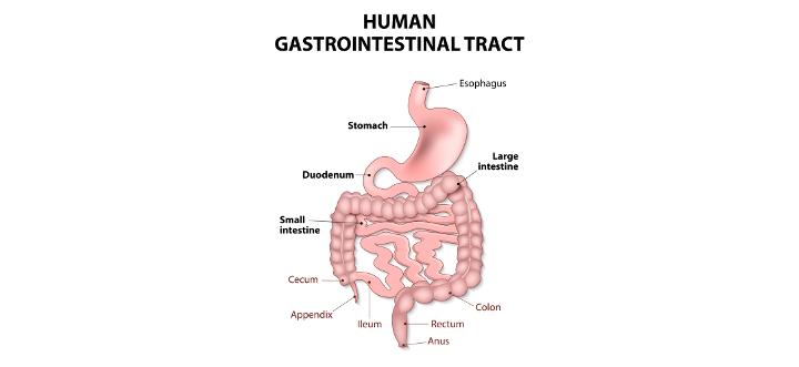 digestivesystem.jpg