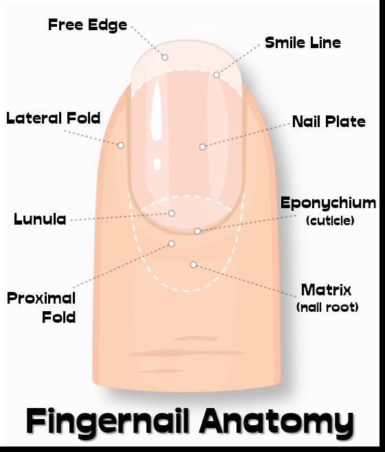 fingernails001.png