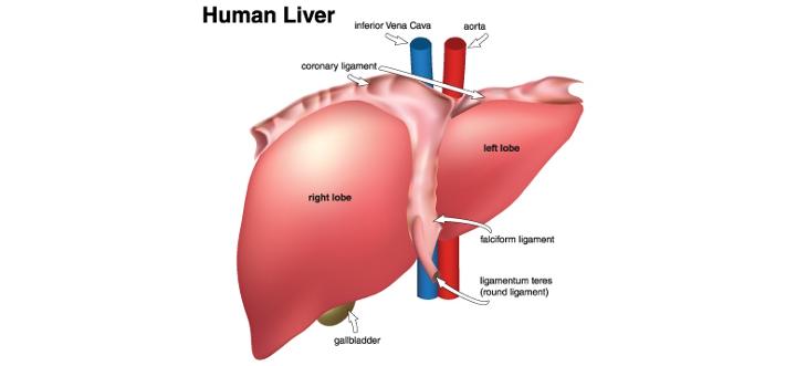 liver2.jpg