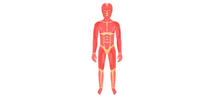 muscularsystem.jpg
