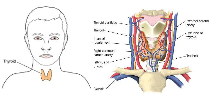 thyroid.jpg