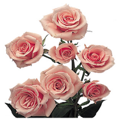 Local Grown Spray Roses 10 Stem Bunch Minimum