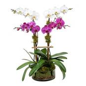Ulltra Modern Orchid Plant